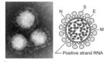 img 5e2fae1bc6a31 160x90 - 新型コロナウイルスの解説;そもそもウイルスとは?特徴・症状・対策