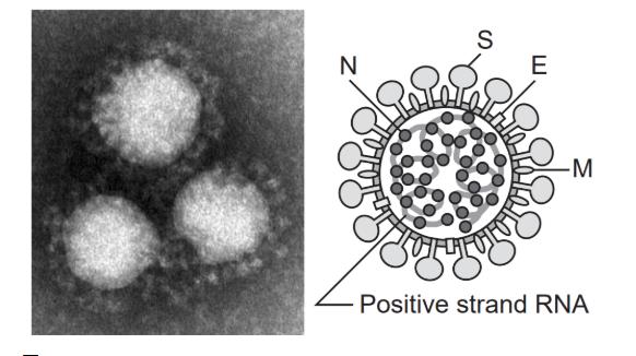 img 5e2fae1bc6a31 - 新型コロナウイルスの解説;そもそもウイルスとは?特徴・症状・対策